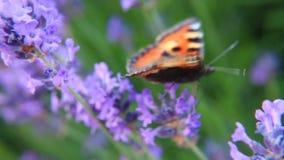 Farfalla sui fiori della lavanda stock footage