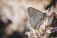 Farfalla sui fiori dentellare Fotografia Stock Libera da Diritti