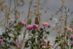 Farfalla sui fiori dentellare Immagine Stock Libera da Diritti