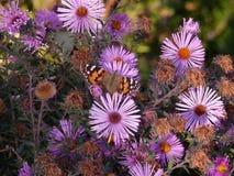 Farfalla sui fiori di autunno immagine stock libera da diritti