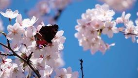 Farfalla sui fiori di Sakura stock footage