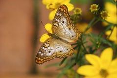Farfalla sui fiori gialli fotografie stock