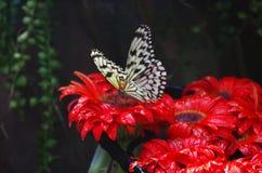 Farfalla sui fiori rossi Fotografia Stock