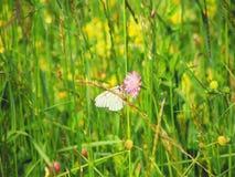 Farfalla sui fiori selvaggi di umbala fotografia stock libera da diritti