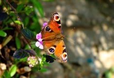 Farfalla sui fiori viola Immagine Stock Libera da Diritti