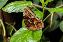 Farfalla sui fogli Fotografie Stock