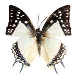 Farfalla sui precedenti bianchi Immagini Stock