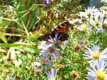 farfalla sui wildflowers su un fondo di erba verde Immagini Stock Libere da Diritti