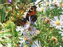 farfalla sui wildflowers su un fondo di erba verde Immagini Stock