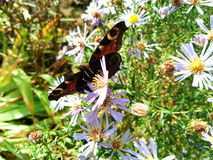 farfalla sui wildflowers su un fondo di erba verde Fotografia Stock