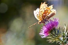 Farfalla sul cardo selvatico Fotografie Stock Libere da Diritti