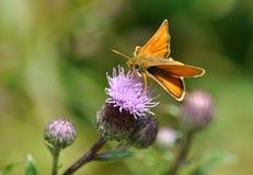 Farfalla sul cardo selvatico di fioritura Immagini Stock Libere da Diritti