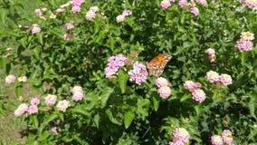 Farfalla sul cespuglio di fioritura rosa immagine stock