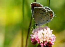Farfalla sul fiore Immagine Stock
