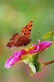 Farfalla sul fiore Fotografie Stock
