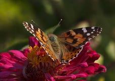 Farfalla sul fiore Fotografia Stock