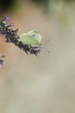 Farfalla sul fiore del lavander Fotografie Stock