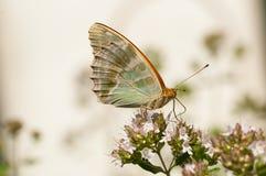 Farfalla sul fiore del marjoam Fotografia Stock