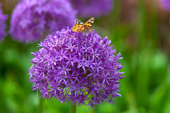 Farfalla sul fiore dell'allium Fotografie Stock Libere da Diritti