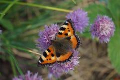 Farfalla sul fiore della cipolla Immagine Stock