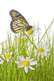 Farfalla sul fiore della margherita Fotografia Stock Libera da Diritti