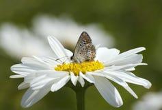 Farfalla sul fiore della margherita Immagine Stock