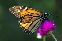 Farfalla sul fiore dentellare fotografie stock
