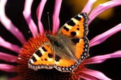 Farfalla sul fiore di autunno Immagini Stock Libere da Diritti