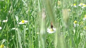 Farfalla sul fiore di camomilla nell'erba di estate video d archivio