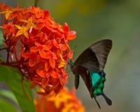 Farfalla sul fiore di Ixora Fotografie Stock Libere da Diritti