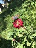 Farfalla sul fiore di rosso della molla Fotografia Stock