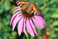 Farfalla sul fiore di rudbeckia fotografia stock libera da diritti
