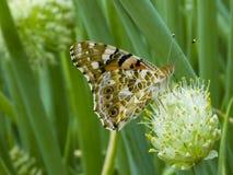Farfalla sul fiore di una cipolla verde Immagine Stock