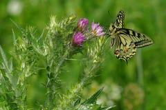 Farfalla sul fiore - fiore del sul di Farfalla Fotografia Stock Libera da Diritti