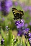 Farfalla sul fiore porpora fotografia stock libera da diritti