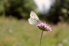 Farfalla sul fiore porpora nell'estate Fotografia Stock