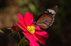 Farfalla sul fiore rosa dell'universo Fotografia Stock