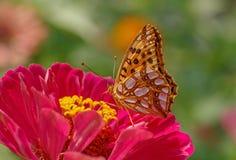 Farfalla sul fiore rosso di zinnia Immagini Stock
