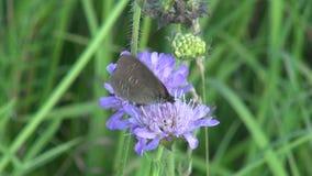 Farfalla sul fiore selvaggio di estate stock footage