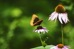 Farfalla sul fiore viola del cono Fotografia Stock