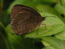 Farfalla sul foglio Fotografie Stock