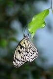 Farfalla sul foglio Fotografie Stock Libere da Diritti