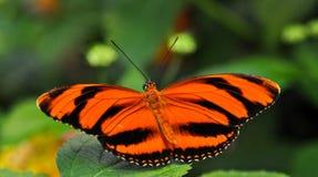 Farfalla sul foglio Immagine Stock