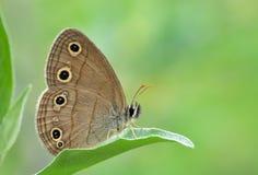 Farfalla sul foglio del caprifoglio Immagini Stock Libere da Diritti