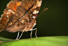 Farfalla sul foglio verde Immagini Stock