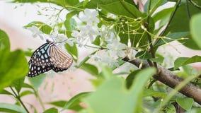 Farfalla sul gelsomino Fotografia Stock Libera da Diritti