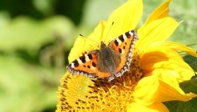 Farfalla sul girasole Immagine Stock
