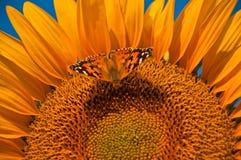 Farfalla sul girasole Fotografia Stock