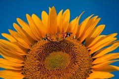 Farfalla sul girasole Fotografia Stock Libera da Diritti
