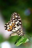 Farfalla sul Mimosa Pudica Fotografia Stock
